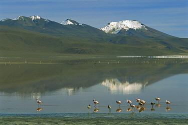Puna Flamingo (Phoenicopterus jamesi) flock at Laguna Colorada, Eduardo Avaroa Faunistic Reserve, Andes Mountains, southwestern Bolivia  -  Pete Oxford