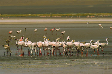 Puna Flamingo (Phoenicopterus jamesi) group drinking in fresh water stream at lake edge, Laguna Colorada, Eduardo Avaroa Faunistic Reserve, Andes Mountains, southwestern Bolivia  -  Pete Oxford