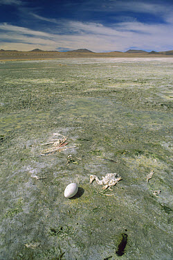 Puna Flamingo (Phoenicopterus jamesi) unsuccessful egg and dead chicks, Laguna Colorada, Eduardo Avaroa Faunistic Reserve, Andes Mountains, southwestern Bolivia  -  Pete Oxford