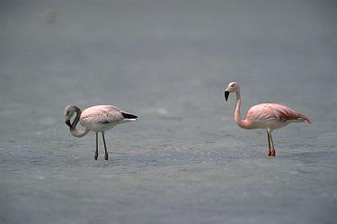 Chilean Flamingo (Phoenicopterus chilensis) pair wading, Laguna Blanca, Eduardo Avaros Faunistic Reserve, Andes Mountains, southwestern Bolivia  -  Pete Oxford