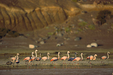 Chilean Flamingo (Phoenicopterus chilensis) flock walking along the shore, Laguna Celeste, southwestern Bolivia  -  Pete Oxford