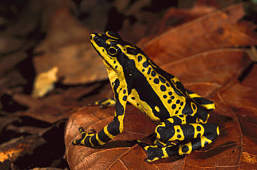 Harlequin Frog (Atelopus varius) on forest floor, Amazon, southeast Ecuador  -  Pete Oxford
