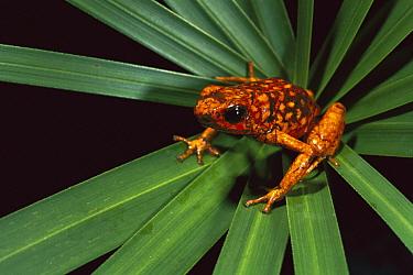 Splendid Poison Dart Frog (Dendrobates sylvaticus) on Bromeliad, Dorango Esmeraldas Provincia, northwestern Ecuador  -  Pete Oxford