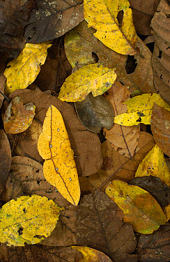 Imperial Moth (Eacles imperialis) camouflaged in leaf litter in rainforest, Yasuni National Park, at 982,000 hectares, the largest national park in Ecuador  -  Pete Oxford