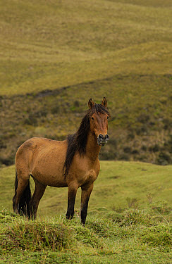 Wild Horse (Equus caballus) in open grassland, Andes Mountains, Ecuador  -  Pete Oxford
