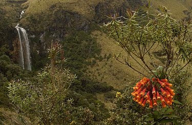 Bomarea (Bomerea sp) blooming with waterfall behind, Cotopaxi National Park, Andes Mountains, Ecuador  -  Pete Oxford