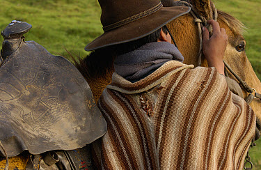 Chagra cowboy putting a bridle on his Domestic Horse (Equus caballus) horse at a hacienda during the annual overnight cattle round-up, Andes Mountains, Ecuador  -  Pete Oxford