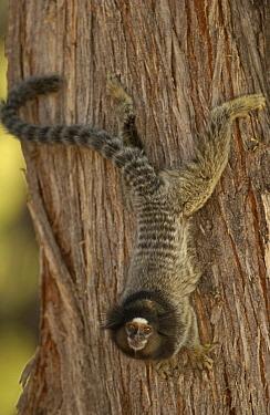 Common Marmoset (Callithrix jacchus) clinging to tree trunk in Cerrado habitat, South America  -  Pete Oxford