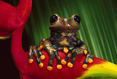 Strawberry Tree Frog (Hyla pantosticta) male on a bromeliad in the cloud forest, Carchi Province, northeastern Ecuador  -  Pete Oxford
