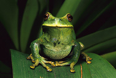 Marsupial Frog (Gastrotheca orophylax) in cloud forest, Ecuador  -  Pete Oxford