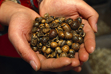 Common Pillbug (Armadillidium vulgare) group dried for sale in traditional medicine market, Yunnan, China  -  Pete Oxford