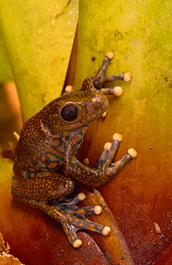 Strawberry Tree Frog (Hyla pantosticta) male in cloud forest, Carchi Province, Ecuador  -  Pete Oxford