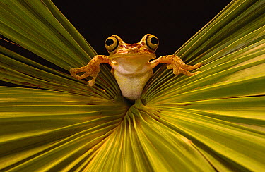 Chachi Tree Frog (Hyla picturata), Choco Rainforest, threatened habitat, northwestern Ecuador  -  Pete Oxford