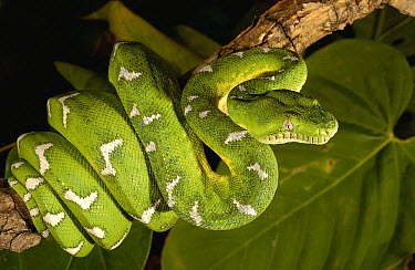 Emerald Tree Boa (Corallus caninus) adult, Amazon, Ecuador  -  Pete Oxford