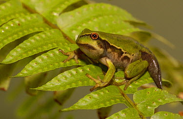 Marsupial Frog (Gastrotheca riobambae) third day out of water metamorphosing from aquatic tadpole to terrestrial frog, the tail will be absorbed into the body as a food source, Andes Mountains, Ecuado...  -  Pete Oxford