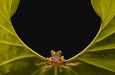 Cloud Forest Tree Frog (Hyla pellucens) sitting on edge of leaf, Choco Rainforest, northwest Ecuador  -  Pete Oxford