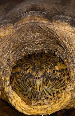 Snapping Turtle (Chelydra serpentina) head drawn into shell for protection, Coast Esmeraldas Province, North Coast, Ecuador  -  Pete Oxford