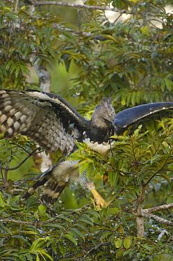 Harpy Eagle (Harpia harpyja) female gathering twigs to line her nest, Aguarico River drainage, Amazon rainforest, Ecuador  -  Pete Oxford