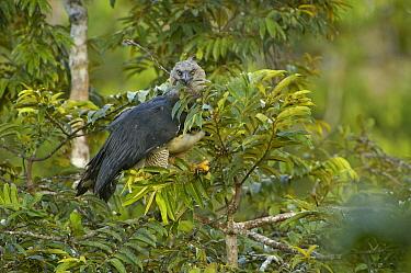 Harpy Eagle (Harpia harpyja) female with a twig to line her nest, Aguarico River drainage, Amazon rainforest, Ecuador  -  Pete Oxford