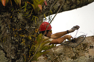 Biologist Alexander Blanco 40 meters up a Kapok or Ceibo tree (Ceiba trichistandra) setting a trap to catch a recently fledged seven month old wild Harpy Eagle (Harpia harpyja) chick, Amazon rainfores...  -  Pete Oxford