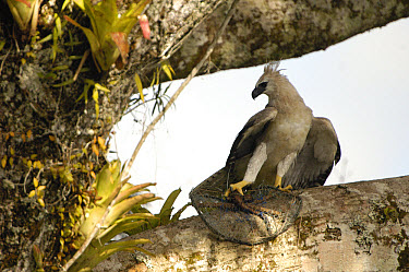 Harpy Eagle (Harpia harpyja) recently fledged seven month old wild chick with foot and prey in trap as biologist Alexander Blanco attempts to catch it, Cuyabeno Reserve, Ecuador  -  Pete Oxford