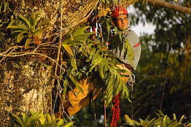 Alexander Blanco 40 meters up a Kapok tree preparing to trap a recently fledged seven month old wild Harpy Eagle (Harpia harpyja) chick to put a GPS transmitter on it, Amazon rainforest, Ecuador  -  Pete Oxford