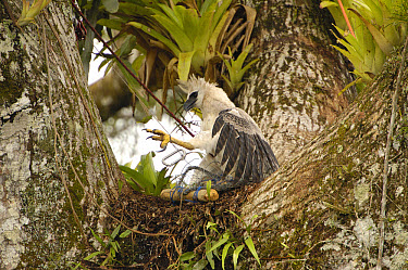Harpy Eagle (Harpia harpyja) recently fledged seven month old wild chick 40 meters up a Kapok or Ceibo tree (Ceiba trichistandra) in trap set by biologist Alexander Blanco, Cuyabeno Reserve, Amazon ra...  -  Pete Oxford