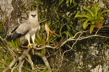 Harpy Eagle (Harpia harpyja) recently fledged seven month old wild chick 40 meters up a Kapok or Ceibo tree (Ceiba trichistandra), Cuyabeno Reserve, Amazon rainforest, Ecuador  -  Pete Oxford