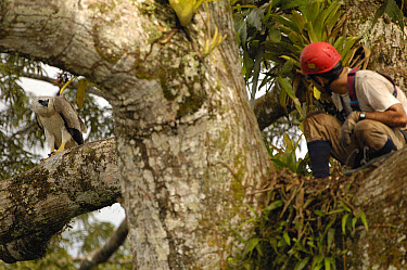 Alexander Blanco 40 Meters up a Kapok tree in Harpy nest setting a trap to catch a recently fledged seven month old wild Harpy Eagle (Harpia harpyja) chick at left, Cuyabeno Reserve, Amazon rainforest...  -  Pete Oxford