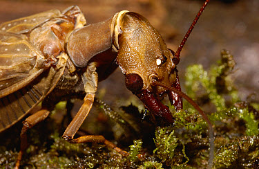 Dobsonfly (Corydalus sp) close-up of adult in moss, larvae are aquatic, the adults live near clean, cold mountain streams, western slope of Andes, Ecuador  -  Pete Oxford