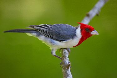 Red-crested Cardinal (Paroaria coronata) perched on branch, Pantanal, Brazil  -  Pete Oxford