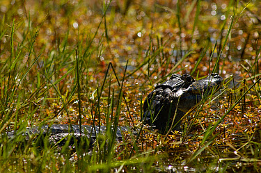 Spectacled Caiman (Caiman crocodilus) juvenile in swamp, Pantanal, Mato Grosso do Sul, Brazil  -  Pete Oxford
