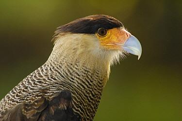 Southern Caracara (Caracara plancus) portrait, Pantanal, Brazil  -  Pete Oxford