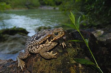 Cururu Toad (Bufo paracnemis) on rock along stream, Brazil  -  Pete Oxford