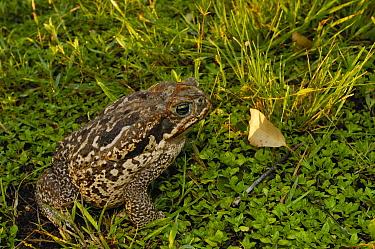 Cururu Toad (Bufo paracnemis) in grass, Brazil  -  Pete Oxford