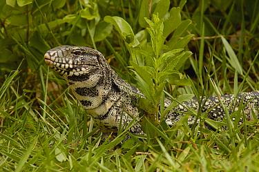 Common Tegu (Tupinambis teguixin) lizard, in grass, Brazil  -  Pete Oxford
