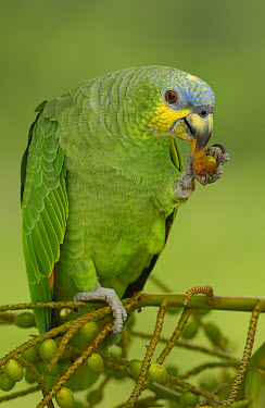 Orange-winged Parrot (Amazona amazonica) feeding on palm fruit, Amazon rainforest, Ecuador  -  Pete Oxford