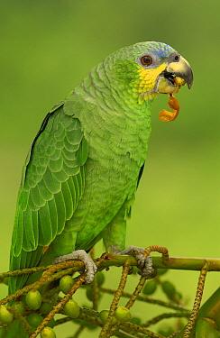 Orange-winged Parrot (Amazona amazonica) perching, Amazon rainforest, Ecuador  -  Pete Oxford