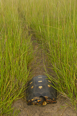Red-footed Tortoise (Geochelone carbonaria) in middle of a foot path, Pantanal, Brazil  -  Pete Oxford
