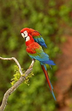 Red and Green Macaw (Ara chloroptera) pair nuzzling on branch, Cerrado habitat, Mato Grosso do Sul, Brazil  -  Pete Oxford