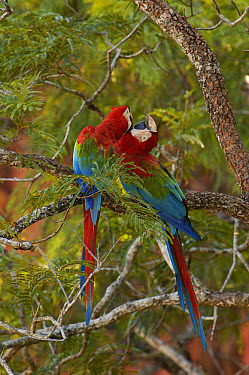 Red and Green Macaw (Ara chloroptera) pair nuzzling and allopreening on branch, Cerrado habitat, Mato Grosso do Sul, Brazil  -  Pete Oxford