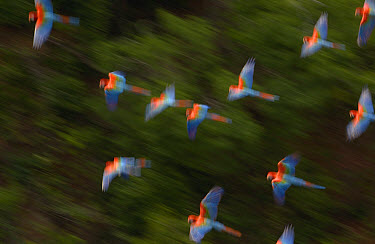 Red and Green Macaw (Ara chloroptera) flock flying, Cerrado habitat, Mato Grosso do Sul, Brazil  -  Pete Oxford