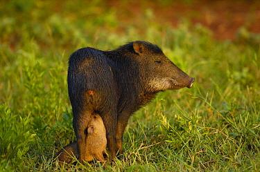 White-lipped Peccary (Tayassu pecari) mother and nursing piglet standing in grass, Brazil  -  Pete Oxford
