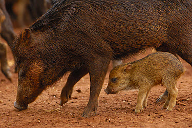 White-lipped Peccary (Tayassu pecari) mother and piglet standing in grass, Brazil  -  Pete Oxford