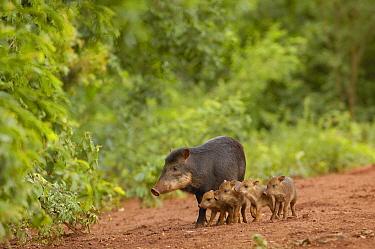 White-lipped Peccary (Tayassu pecari) mother and four piglets, Brazil  -  Pete Oxford
