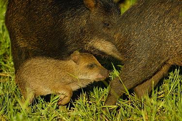 White-lipped Peccary (Tayassu pecari) mother and piglet, Brazil  -  Pete Oxford
