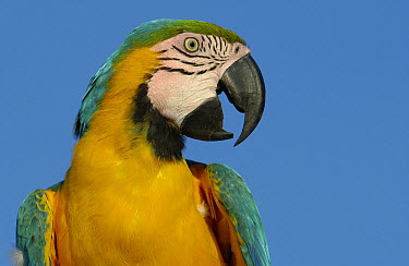 Blue and Yellow Macaw (Ara ararauna) portrait, native to Amazon rainforest, South America  -  Pete Oxford