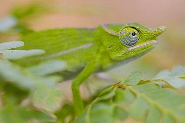 Petter's Chameleon (Furcifer petteri) camouflaged amid foliage in protected area, Daraina, Madagascar  -  Pete Oxford