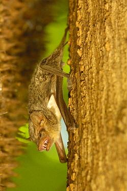 Guano Bat (Tadarida sp) in western deciduous forest, Ankarafantsika Strict Nature Reserve, Madagascar  -  Pete Oxford