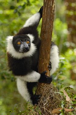 Black and White Ruffed Lemur (Varecia variegata variegata) in rainforest near Mantadia National Park, endangered, Madagascar  -  Pete Oxford